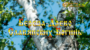 Береза Древо Славянских Богинь
